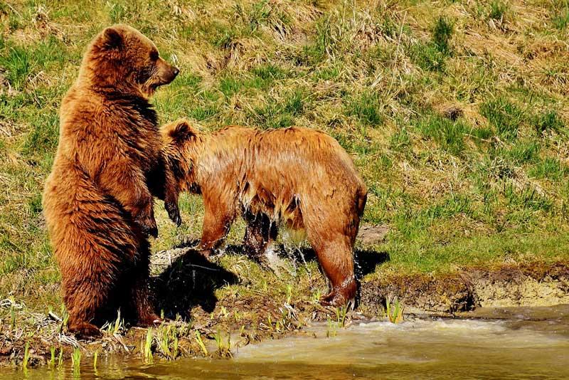 junge braunbären auf Vancouver island